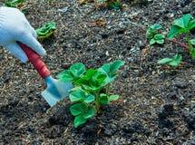 Piantatura della fragola Fragole crescenti fotografia stock