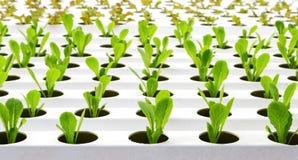 Piantatura della lattuga verde nell'azienda agricola della verdura di coltura idroponica Immagine Stock