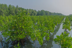 Piantatura della mangrovia Fotografia Stock