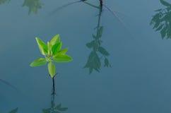 Piantatura della mangrovia Fotografia Stock Libera da Diritti