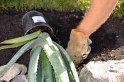 Piantatura della pianta dell'aloe Immagini Stock
