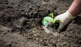 Piantatura della pianta della zucca fotografia stock