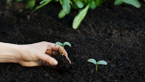 Piantatura della pianta giovane del cetriolo nel giardino Fotografie Stock Libere da Diritti