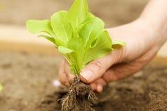 Piantatura della pianta giovane della lattuga in giardino Fotografia Stock Libera da Diritti