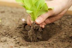 Piantatura della pianta giovane della lattuga in giardino Fotografia Stock