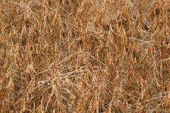 Piantatura della soia Immagini Stock