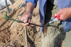 Piantatura della vigna Immagini Stock
