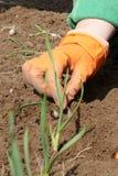Piantatura delle cipolle Fotografia Stock Libera da Diritti