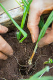 Piantatura delle erbe nel suolo Immagini Stock Libere da Diritti