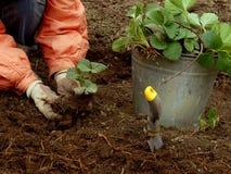 piantatura delle fragole Fotografia Stock Libera da Diritti