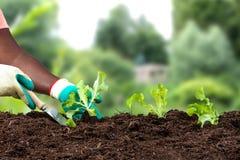 Piantatura delle mani della donna del suolo di plantsin dei pomodori e delle insalate sopra il parco verde immagini stock libere da diritti