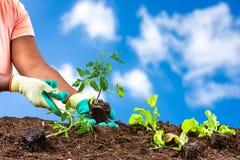 Piantatura delle mani della donna delle insalate in suolo sopra un cielo blu molto bello fotografia stock