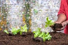 Piantatura delle mani della donna delle insalate in suolo sopra una parete del silice fotografia stock libera da diritti