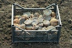 Piantatura delle patate Fotografie Stock Libere da Diritti