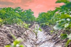 Piantatura delle patate con il sistema di irrigational Fotografie Stock