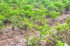 Piantatura delle patate con il sistema di irrigational Immagini Stock