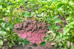 Piantatura delle patate con il sistema di irrigational Fotografia Stock Libera da Diritti