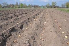 Piantatura delle patate organiche in primavera Giacimento delle patate Fotografia Stock Libera da Diritti