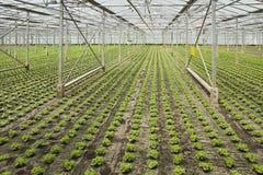 Piantatura delle piante giovani nuove dell'insalata Fotografia Stock Libera da Diritti