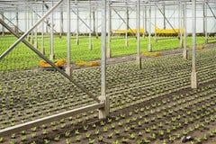 Piantatura delle piante giovani nuove dell'insalata Fotografia Stock