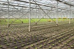 Piantatura delle piante giovani nuove dell'insalata Immagine Stock Libera da Diritti