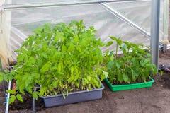 Piantatura delle piantine dei pomodori e del pepe in serra immagine stock