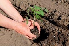 Piantatura delle piantine del pomodoro in foro Fine in su Immagini Stock Libere da Diritti