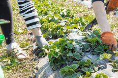 Piantatura delle piantine giovani della fragola nelle file sul campo fotografie stock