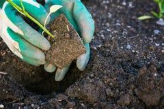 Piantatura delle verdure Fotografie Stock