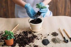 Piantatura di giardinaggio di germinazione della piantina di hobby fotografia stock libera da diritti