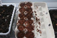 Piantatura di semi in cartoni utilizzati dell'uovo che iniziano nella porta che germina fotografie stock libere da diritti