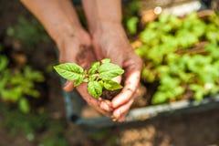 Piantatura i cetrioli e dei pomodori in terra aperta Le mani nella terra tengono le piantine primo piano e lo spazio della copia immagine stock