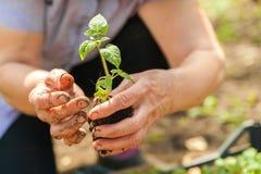 Piantatura i cetrioli e dei pomodori in terra aperta Le mani nella terra tengono le piantine primo piano e lo spazio della copia immagini stock libere da diritti
