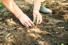 Piantatura i cetrioli e dei pomodori in terra aperta Le mani nella terra tengono le piantine primo piano e lo spazio della copia fotografia stock