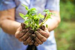 Piantatura i cetrioli e dei pomodori in terra aperta Le mani nella terra tengono le piantine primo piano e lo spazio della copia immagini stock