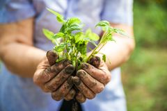 Piantatura i cetrioli e dei pomodori in terra aperta Le mani nella terra tengono le piantine primo piano e lo spazio della copia immagine stock libera da diritti