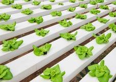 Piantatura idroponica della verdura Immagine Stock