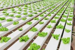 Piantatura idroponica della verdura Immagini Stock