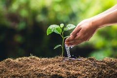 Piantatura il frutto della passione e della mano di crescita degli alberi che innaffiano alla luce ed al fondo della natura immagine stock
