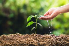 Piantatura il frutto della passione e della mano di crescita degli alberi che innaffiano alla luce ed al fondo della natura fotografia stock libera da diritti
