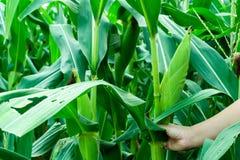 Piantatura organica del cereale o del mais nel campo di mais fotografia stock