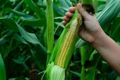 Piantatura organica del cereale o del mais nel campo di mais fotografia stock libera da diritti
