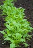 Piantatura organica del ravanello Immagini Stock Libere da Diritti