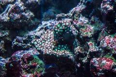 Piante acquatiche tropicali rosse e mare di corallo verde della flora dell'anemone Fotografia Stock Libera da Diritti