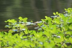 Piante acquatiche verde intenso del lago Fotografie Stock