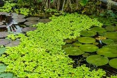 Piante acquatiche verdi Immagine Stock