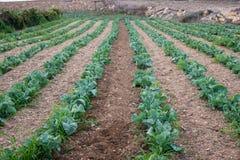 Piante agricole del cavolfiore nelle file in Gozo immagine stock