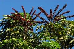 Piante alte del caffè con le bacche rosse nel Sudafrica Fotografie Stock