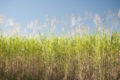 Piante alte della canna da zucchero sotto cielo blu Fotografia Stock Libera da Diritti