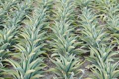Piante americana della bella agave nelle file Fotografia Stock Libera da Diritti